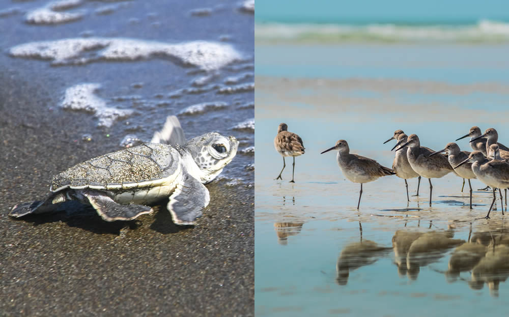 Giving Back to Anna Maria Island Turtle Watch and Shorebird Conservation